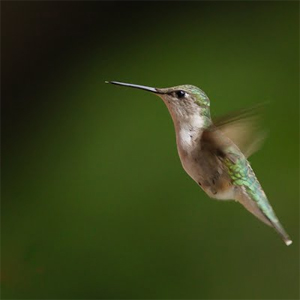 Hummingbird Edition